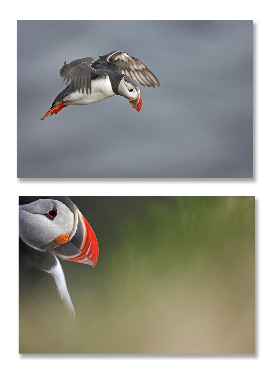 Islande, oiseaux et terre de volcans